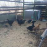 鶏小屋、完成。